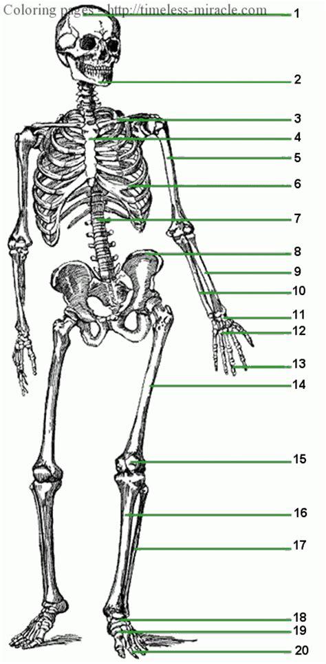 diagram of the skeletal system worksheet human skeleton