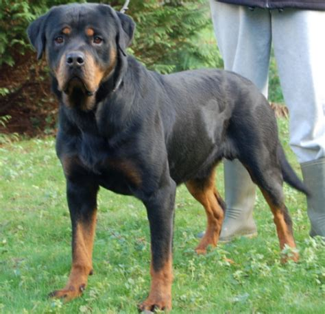 Do Rottweiler Shed by Rottweiler Pups Te Koop Breeds Picture