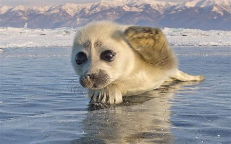pup seal tiny seal pup delights photographer