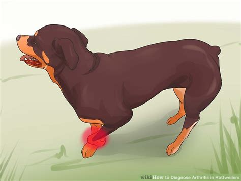 rottweiler arthritis symptoms 3 ways to diagnose arthritis in rottweilers wikihow