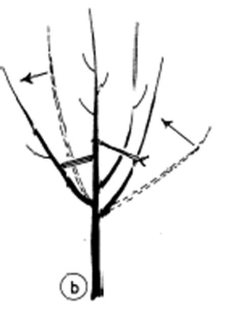 obstbaumschnitt wann sicona infos obstbaumschnitt