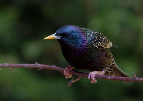 european starling facts classification habitat life