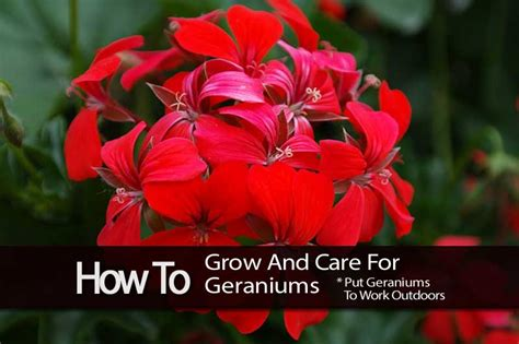 how to grow and care for geraniums