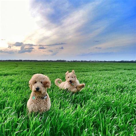 goldendoodle puppy arkansas arkansas goldendoodles goldendoodle puppies for sale