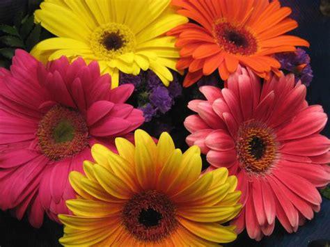 imagenes de gerberas blancas entusiasme se com as cores vibrantes das encantadoras g 233 rberas