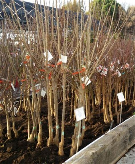 bare root fruit trees bare root nursery thenurseries