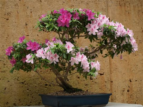 plants amp flowers 187 rhododendron simsii