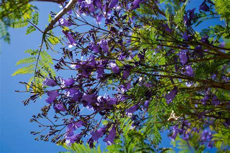 lavender tree by ashwind150 on deviantart