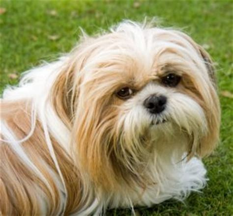 shih tzu 101 shih tzu dogs 101 shihtzu animal facts