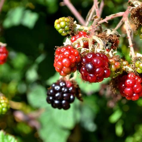 backyard berry plants top 28 plant with berries id shrub w red berries images frompo the grackle