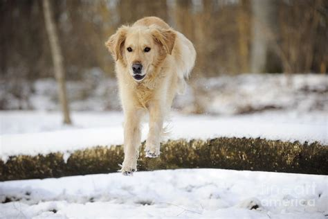 golden retriever jumping golden retriever jumping photograph by
