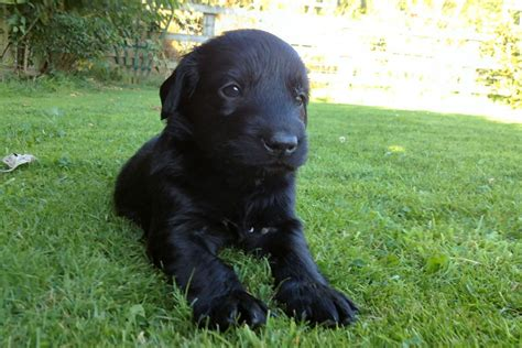 black retriever puppies stunning black flat coated retriever puppies thirsk pets4homes