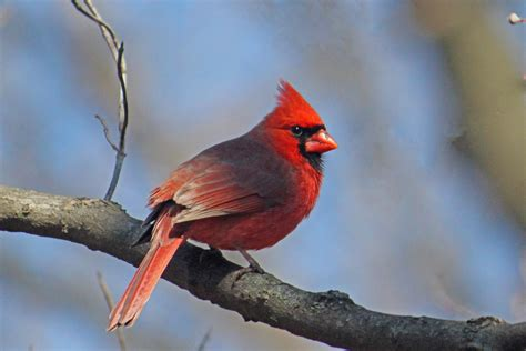 all about birds northern cardinal