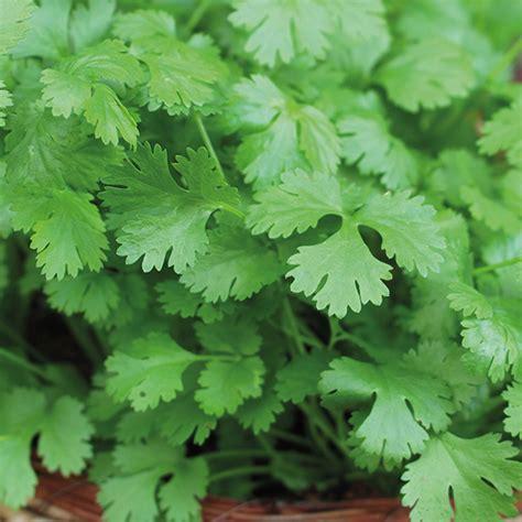 Cilantro Coriander Leaves coriander cilantro herb seeds from dt brown seeds