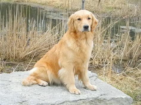 golden retriever puppies brisbane golden retriever page 260 dogs our friends photo