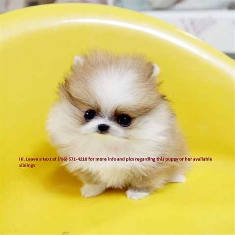 teacup puppies for sale in va teacup pomeranian puppies for sale for sale adoption from norfolk va
