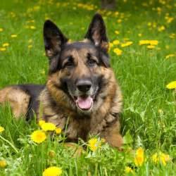 belgian shepherd 5 months german shepherd puppies for sale