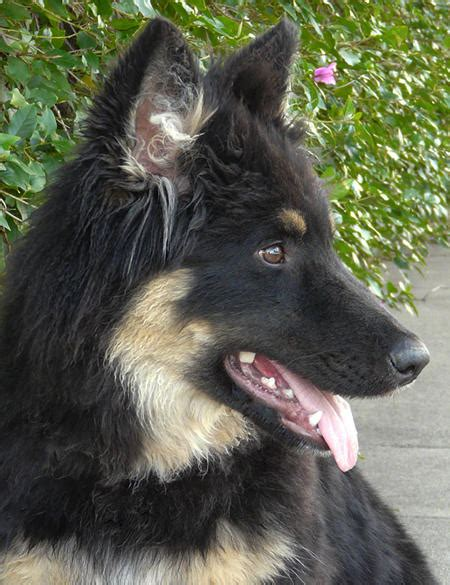 when do pomeranians stop growing tierney the adoptable german shepherd dogs daily puppy