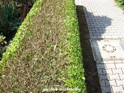 Wann Thujahecke Schneiden 5478 by Gardening How To Cut A Hedge Gardening Works