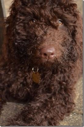 mini doodles hereford miniature labradoodles ready now hereford