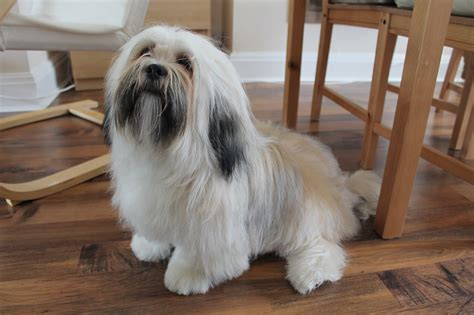 Lhasa Apso Shedding by Grooming A Lhasa Apso Paws Across Britain