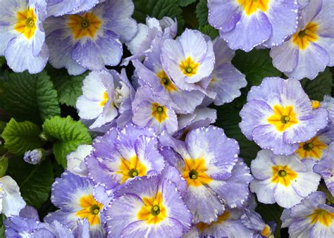 Win With Flower Primrose Blue The Frustrated Gardener