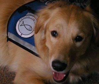 certified comfort dog 192 best images about great golden retriever stuff on