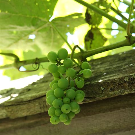 best vines earphones problems eco friendly ways to black rot on a grape plant