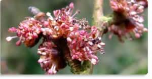 fiori di bach elm elm fiore di bach per chi ha la sensazione il