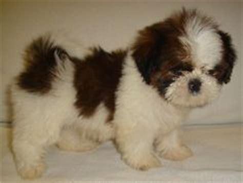 lhasa apso shih tzu poodle mix shih tzu lhasa apso my coco at 12 weeks pets chang e 3 and 12 weeks