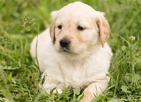 free puppy free photo puppy golden retriever free image on pixabay 1207818