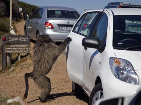 baboons attack cape of my family was attacked by a of highway baboons while