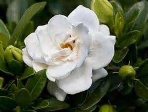 Gardenia Usa Gardenia Crown Planthaven International