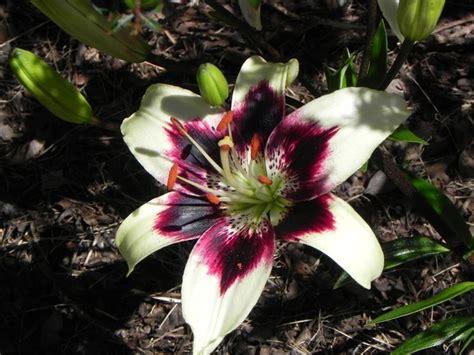 significato fiore giglio giglio bulbi i bulbi di giglio