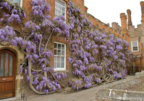 training wisteria vines to wall london day three part one royal school of needlework