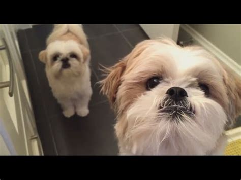 shih tzu itching shih tzu doggie do itchy bum on command 仔仔表演磨磨屁股