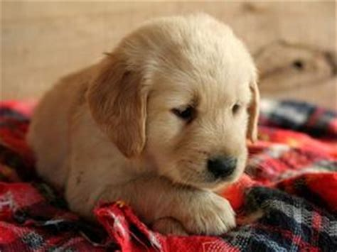 price of golden retriever puppy price of a golden retriever puppy photo