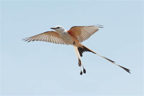 species spotlight scissortail