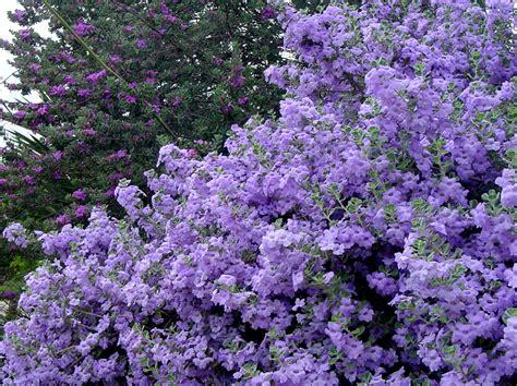 shrubs with purple flowers s legacy cenizo 5 rounded bush