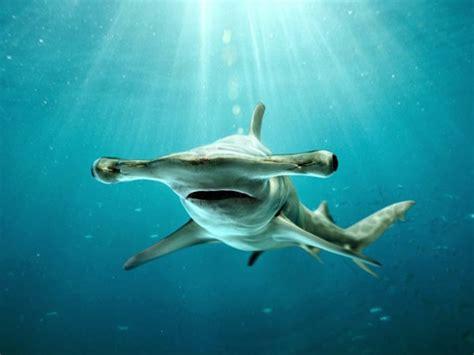 baby shark eyes le grand requin marteau sphyrna mokarran 0 geo fr