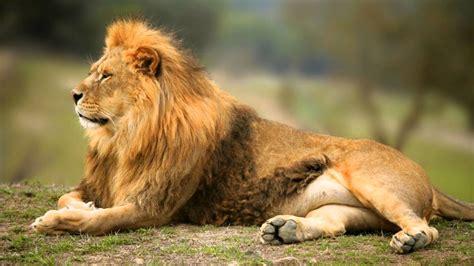 imagenes de xeso animal sonido del leon lion sound sonidos cortos de animales