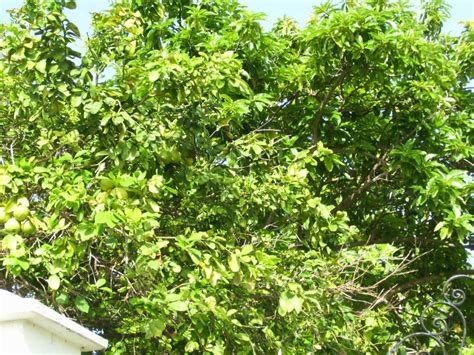 grape fruit tree grapefruit tree pictures information on grapefruit trees
