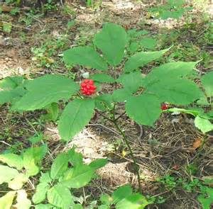 growing ginseng how to plant and grow ginseng ginseng pinterest