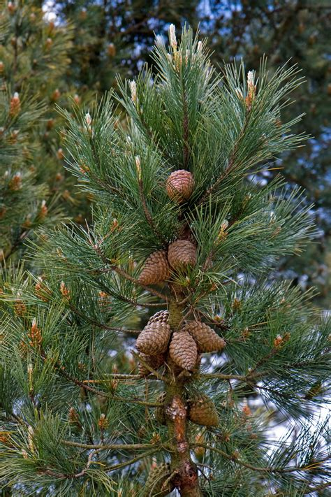 cone tree fir cones on tree free stock photo public domain pictures