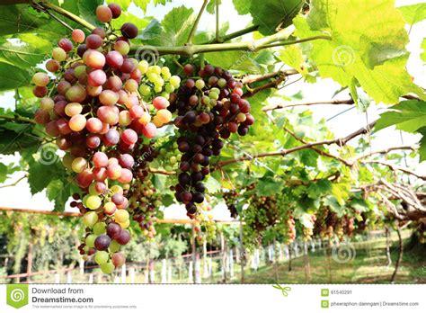 grapes fruit tree grapes stock photo image 61540291