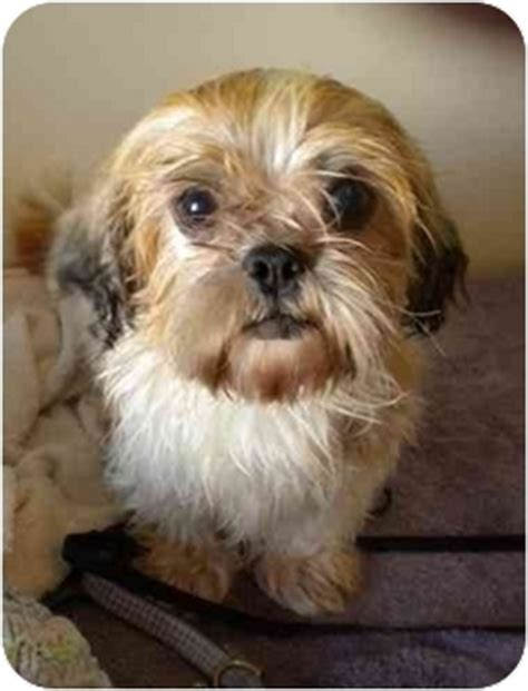 shih tzu puppies jacksonville fl pet not found