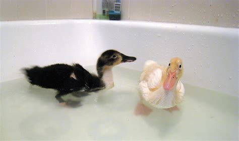 duck bathtub ducks in da tub you lookin at me bruce turner flickr