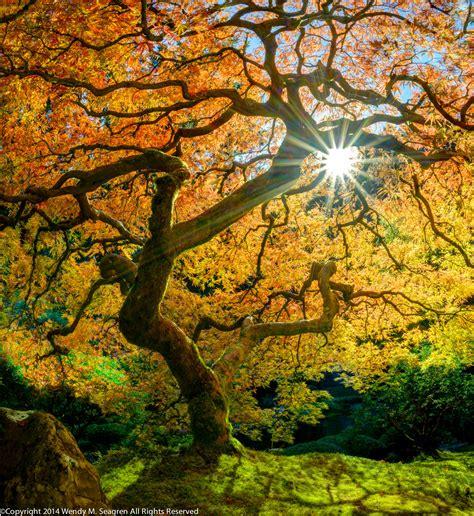 maple tree lifespan photo of japanese maple tree japanese gardens wendy seagren