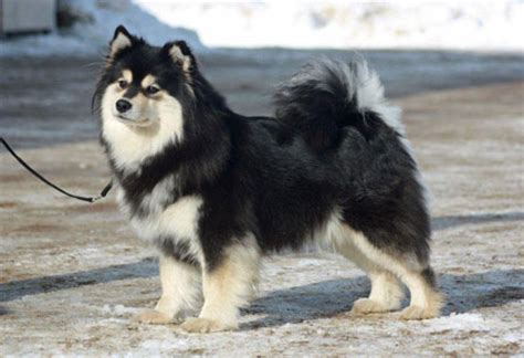wolf pomeranian cost spitz puppies cost breeds picture