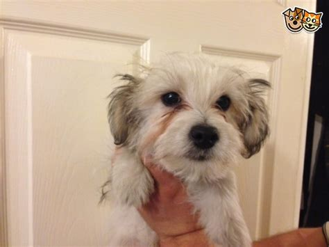 yorkie apso puppies for sale yorkie x lhasa apso puppies for sale faringdon oxfordshire pets4homes
